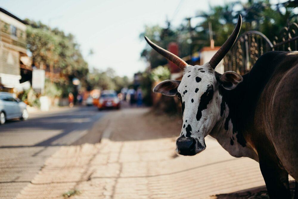 heilige koe